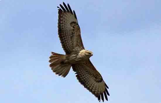 «Кошачий орел»