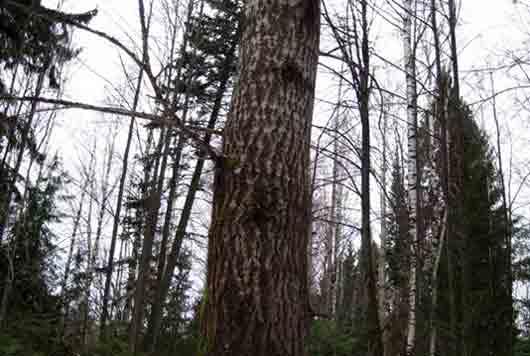 Где рубят деревья для русской бани