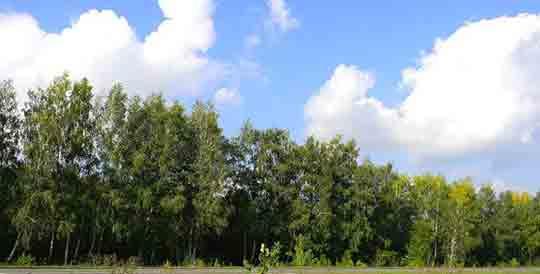 """""""Шеренга"""" деревьев. Ответы № 42"""